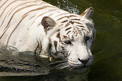 White tiger with dark chocolate stripes in water.