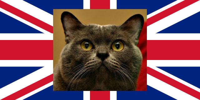 Chocolate British shorthair cat.