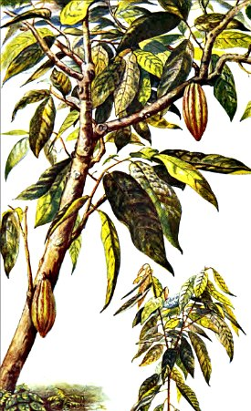 Cacao tree with sapling.