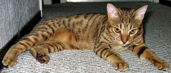 Chocolate Ocicat laying on the floor.