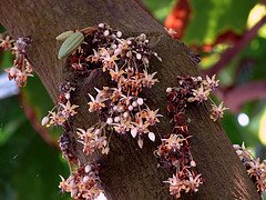 Cocoa flowers photographed by Tatters.