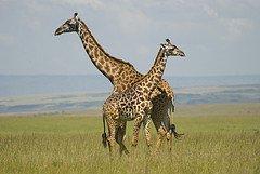 Masai Giraffe photographed by Paul Mannix