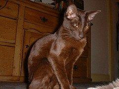 Dark choclate cat.