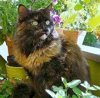 Beautiful Maine Coon chocolate cat . Source:Wikimedia Commons